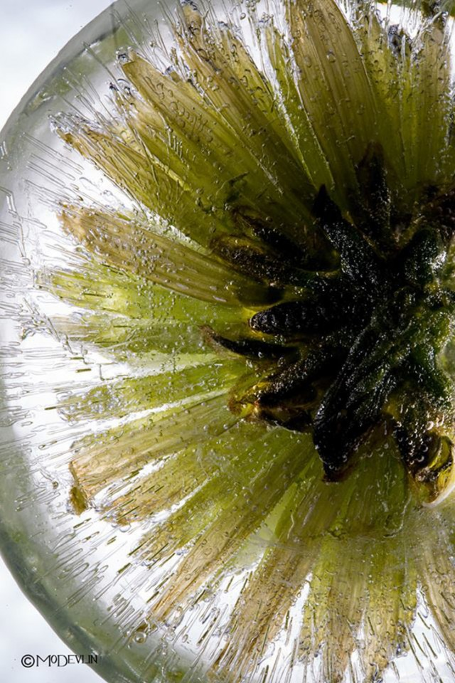 Mo Devlin Frozen Flowers daisy on Fubiz - saved by Chic n Cheap Living