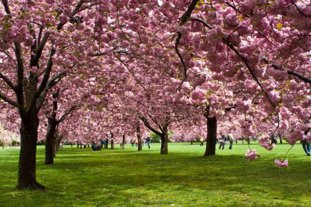 best places to watch cherry blossoms brooklyn botanic garden
