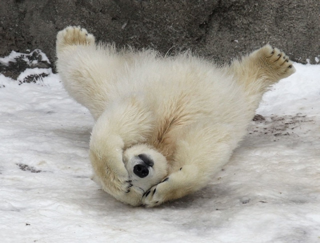 cute-baby-polar-bear-day-photography-182__880