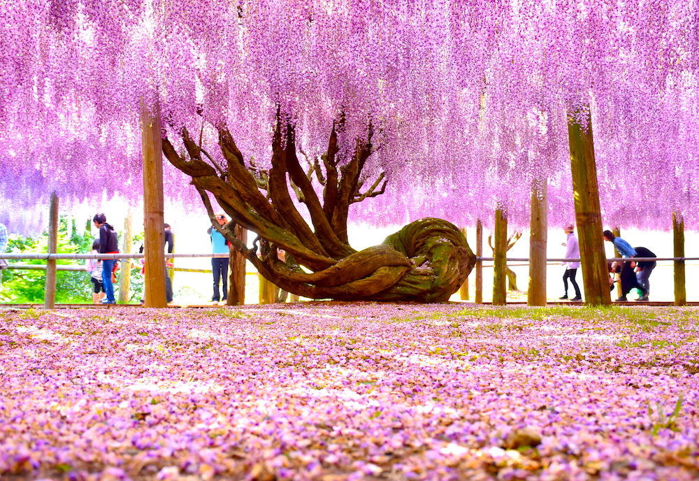 Fff Wisteria Tunnels In Japan And Baking Experiments Little